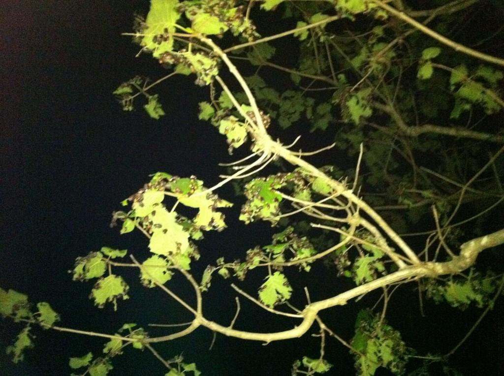 Thailand Subterranean Ants (แมงมัน) On Tree